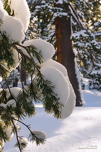 Snow-Covered Limbs