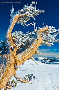 Snow Covered Pine near Round Top