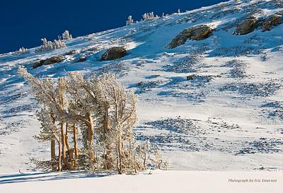 Snowy Pines near Elephant Back