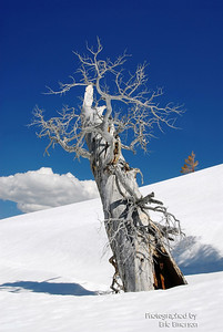 Old Snag at Carson Pass
