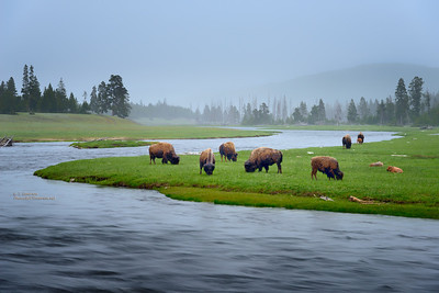 Bison Grazing at Dawn in Light Snow
