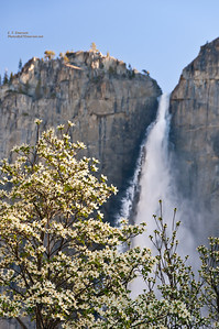 Yosemite Falls and Dogwood