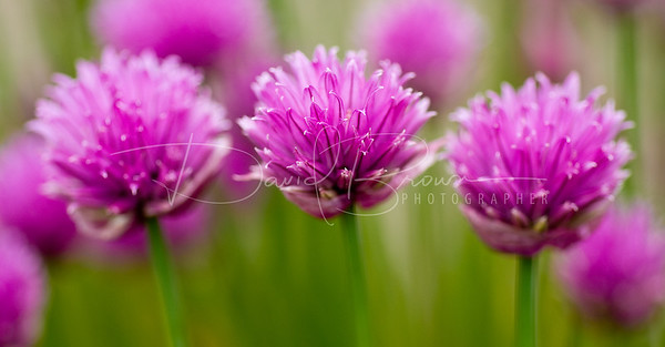 Triple Chives
