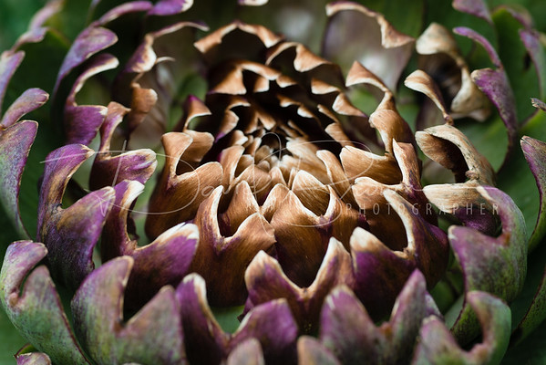 Globe Artichoke a Fine Art photograph by David Brown Photographer, Perthshire, Scotland, UK