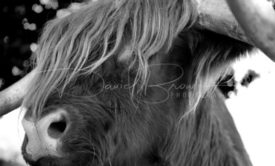 Highland Cattle V7