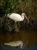 White Ibis, Texas