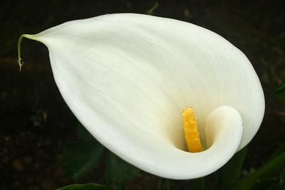 FL 69 Calla Lily