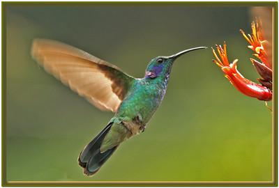 BR 14 Hummingbird