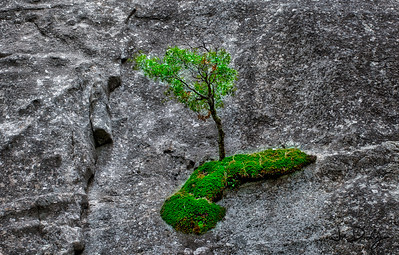 Tree on Granite