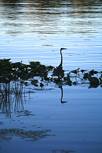 BR 43 Egret Reflection