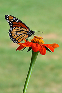 BU 14 Monarch Butterfly and Flower