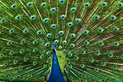 BR 4 Fanned Peacock