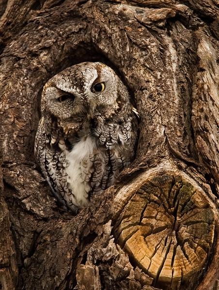 Eastern Screech Owl, Ontario