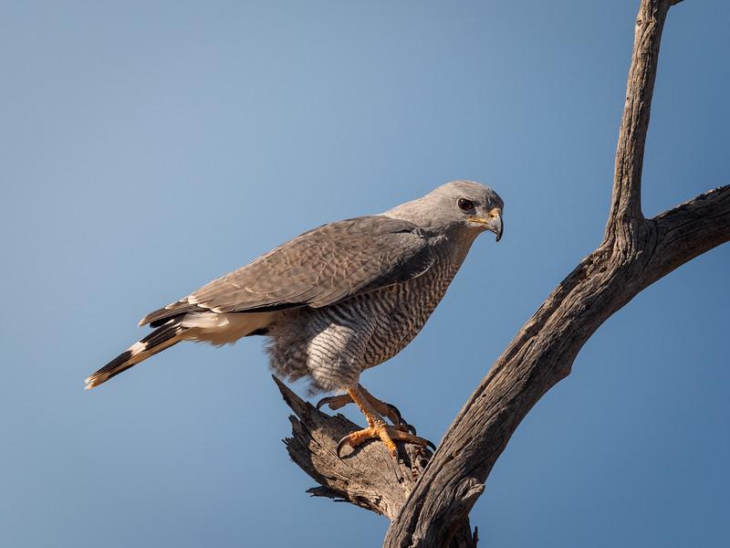 Gray Hawk, Arizona