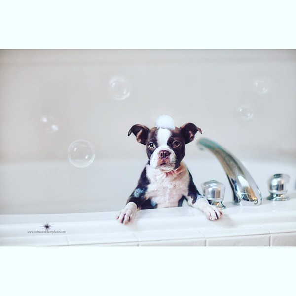 #worldpuppyday #puppy #bostonterrier #cute #bathtime #clean #clickinmoms ##portraitpage #theportraitpr0ject #pursuitofportraits #discoverportrait #rsa_portraits #igpodium_portraits #ofhumans #featurepalette #quietthechaos #portraitmood #bleachmyfilm #cano