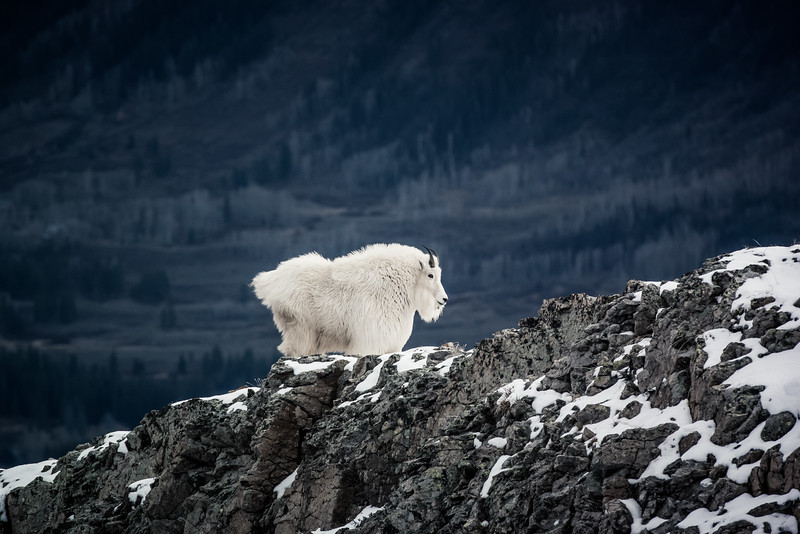 An intrepid mountain goat contemplates its domain from the top of Gothic Mountain.