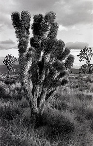 Joshua Tree No. 2