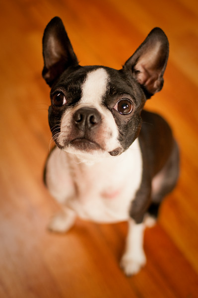 A boston terrier poses for a portrait in order to get a treat.