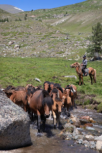 Herding horses for milking, first mares' milking of the summer, Mongolia