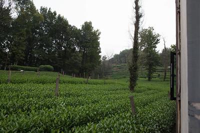 Tea fields outside the Amyrica Hotel, Hangzhou