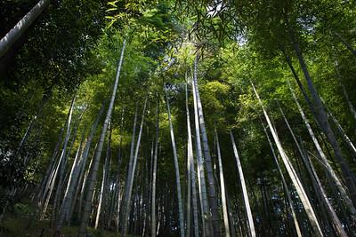 Bamboo forest, Mogan Mountain