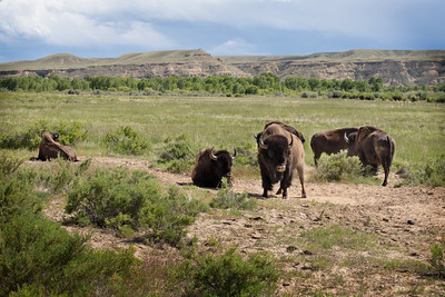 Bison herd restoration on the Wind River Reservation