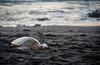 Green sea turtle resting
