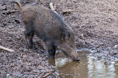 Pig at mudpool