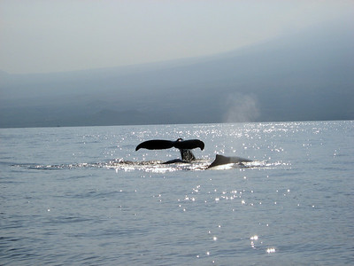 Humpback whales - Big Island of Hawaii - Hualalai volcano in the background.