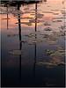 Adirondacks Forked Lake Lilypads 3 July 2008