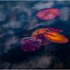 Adirondacks Utowana Lake Underwater Lilypads October 2009