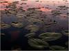 Adirondacks Forked Lake Lilypads 4 July 2008