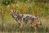 Adirondacks Indian Lake September 2015  Eastern Coyote 1