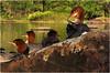 Adirondacks Forked Lake Shoreline American Mergansers on Boulder 4 August 2010