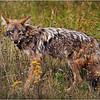 Adirondacks Indian Lake September 2015  Eastern Coyote 2