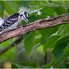 New York Delmar Backyard Birds Downy Woodpecker 11 July 2020