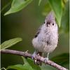 New York Delmar Backyard Birds Tufted Titmouse 10 July 2020