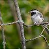 New York Delmar Backyard Birds Black Cap Chickadee 7 July 2020