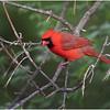 New York Delmar Mr  Cardinal 2 May2020