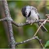 New York Delmar Backyard Birds Black Cap Chickadee 8 July 2020