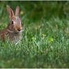New York Delmar Backyard Baby Bunny 3 July 2020