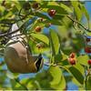 New York Delmar Cedar Waxwing in my tree 13 June 2020
