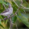 New York Delmar Backyard Birds Tufted Titmouse 6 July 2020