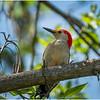 New York Delmar Red Belly Woodpecker 8 May 2020