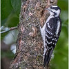 New York Delmar Backyard Birds Downy Woodpecker 7 July 2020