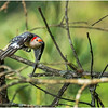 New York Delmar Backyard Birds Redbelly Woodpecker Female 2 July 2020