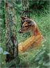 Shenendoah VA Big Meadow Whitetail Fawn 4 July 1996