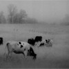 Elsmere NY Kleinkes Herd of Cows 2 IR Film May 1992