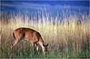Shenendoah VA Big Meadow Whitetail Doe 1 July 1996