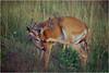 Shenendoah VA Big Meadow Whitetail Buck 3 July 1996